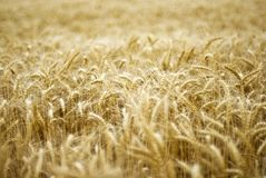 Details of wheat field. In countryside Royalty Free Stock Photo