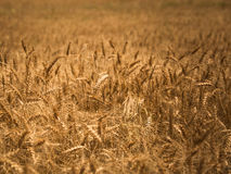 Details of wheat field Royalty Free Stock Photos