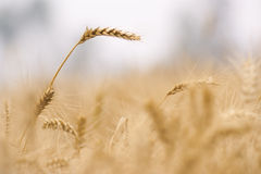 Details of wheat. Summer field with golden wheat Royalty Free Stock Photo