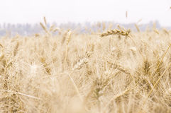 Details of wheat. Summer field with golden wheat Stock Images