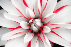 Details of white dahlia flower with red lines macro close up photography. Dahlia floral head in the centre as abstract intricate. Details of white dahlia flower royalty free stock photography