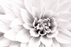 Details of white dahlia fresh flower macro photography. Black and white high key photo emphasizing texture, contrast and geometry. Details of white dahlia fresh stock images