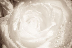 Details of a white flower with water drops closeup Royalty Free Stock Image
