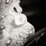 Details of a white flower with water drops closeup Royalty Free Stock Photos