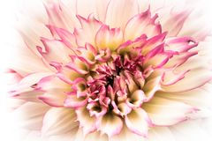 Details of white and pink dahlia fresh flower macro photography. High key colour photo. Details of white and pink dahlia fresh flower macro photography. High Stock Photography