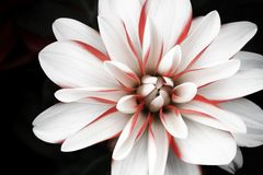 Details of white, pink and red dahlia flower macro close up photography isolated on dark black background royalty free stock photo