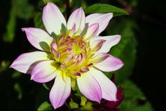 Details of white, yellow and purple dahlia flower macro close up photography. Photo in colour emphasizing texture, contrast and royalty free stock photos
