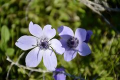 Details of wild anemone flowers Royalty Free Stock Photo