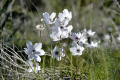 Details of wild anemone flowers Stock Images
