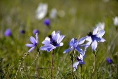 Details of wild anemone flowers Stock Photos