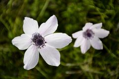 Details of wild anemone flowers Royalty Free Stock Image