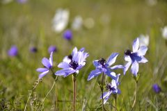 Details of wild anemone flowers Royalty Free Stock Images