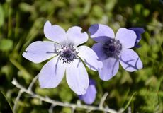 Details of wild anemone flowers Royalty Free Stock Photos