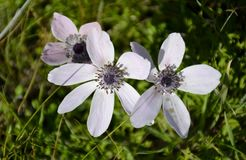 Details of wild anemone flowers Stock Image
