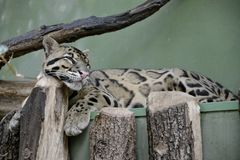 Details of a wild clouded leopard Royalty Free Stock Image