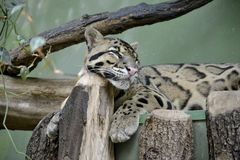 Details of a wild clouded leopard Royalty Free Stock Photos