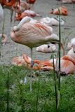 Details from wild flamingos Royalty Free Stock Image