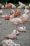 Details from wild flamingos Royalty Free Stock Photo