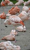 Details from wild flamingos Stock Photo