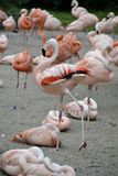 Details from wild flamingos Royalty Free Stock Images