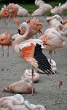 Details from wild flamingos Royalty Free Stock Photography