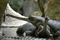 Details of wild gharial reptiles. In water Stock Photography