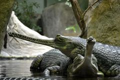 Details of wild gharial reptiles Royalty Free Stock Photos