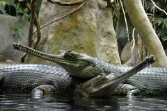 Details of wild gharial reptiles. In water Stock Photos