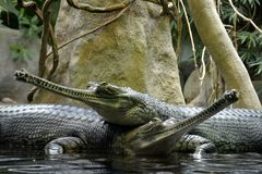 Details of wild gharial reptiles. In water Royalty Free Stock Photos