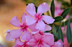 Details of wild oleander pink flowers and green leaves. With background Stock Image