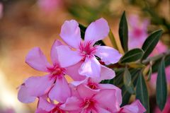 Details of wild oleander pink flowers and green leaves. With background Stock Photo