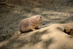 Details from wild prairie dogs Royalty Free Stock Photography