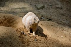 Details from wild prairie dogs Stock Photos