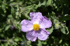 Details of a wild rock rose Stock Images