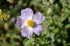 Details of a wild rock rose Royalty Free Stock Photography