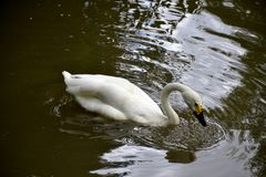 Details of a wild whooper swan Royalty Free Stock Photography