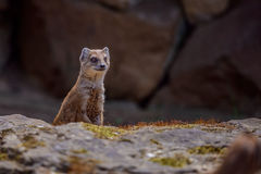 Details of a wild yellow mongoose fox Stock Photos