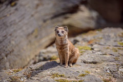 Details of a wild yellow mongoose fox Royalty Free Stock Photos