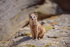 Details of a wild yellow mongoose fox Royalty Free Stock Image