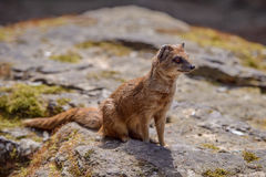 Details of a wild yellow mongoose fox Royalty Free Stock Images