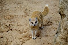 Details of a wild yellow mongoose fox Royalty Free Stock Photo