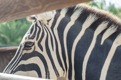 Details of zebra stripes. Horizontal photo Stock Images