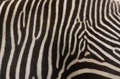 Detal of zebra Royalty Free Stock Image