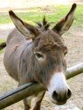 Detalhe: Açaime do burro Foto de Stock