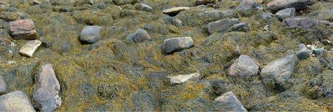 Detalhe, alga e kelp em rochas da praia foto de stock royalty free