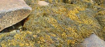 Detalhe, alga e kelp em rochas da praia foto de stock