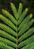 Detalhe amarelo da folha da árvore de Poinciana imagem de stock royalty free