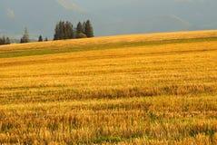 Detalhe amarelo do campo Fotografia de Stock Royalty Free
