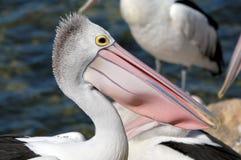 Detalhe australiano do pelicano imagem de stock