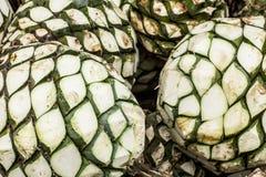 Detalhe azul da agave Fotografia de Stock